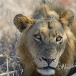 African male lion keeping a close eye