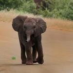 elephant calf walking