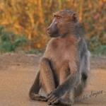 baboon sitting on a path with holding hand flat on the ground
