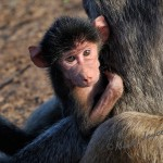 baby baboon in the safety of her mother arms