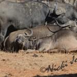 sleeping buffaloes