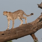 cheetah uses dead tree for raised vantage point to scan for prey