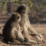 Baby anticks with Female Baboon