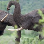 dominance fight between two elephant bulls on an overcast day in summer