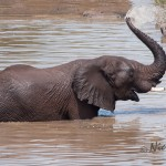 Elephant standing emerged in water, is cooling down by spraying himself