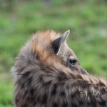 hyena picture from a side angle