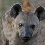 young hyena close up portrait