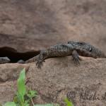 lizard family on a rock