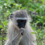 vervet monkey unsure of the situation