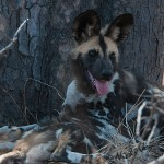 wild-dog puppies seeking the shade of the tree