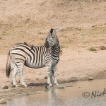 zebra duo at waterhole being very cautious