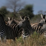 burchell's zebra herd full concentration