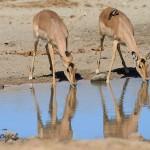 anxious Impala duo drinking at the dam