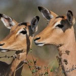 Two impala cows concentrate