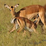 Impala calf suckling from mother