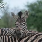 zebra having a snooze