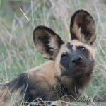african painted dog turning head staring