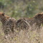 both cheetah brothers scanning for their next meal