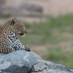 Leopard on a rock in the river