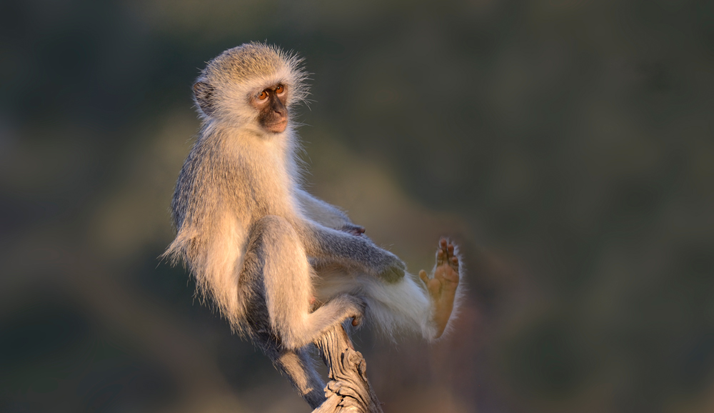vervet monkey sitting on a tree stump
