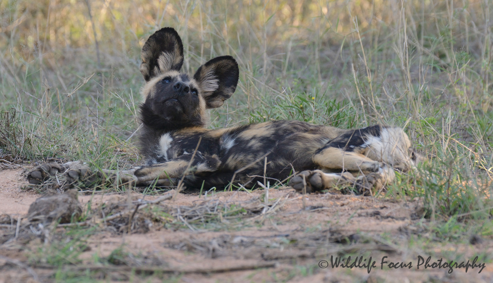 wild dog relaxing looking up