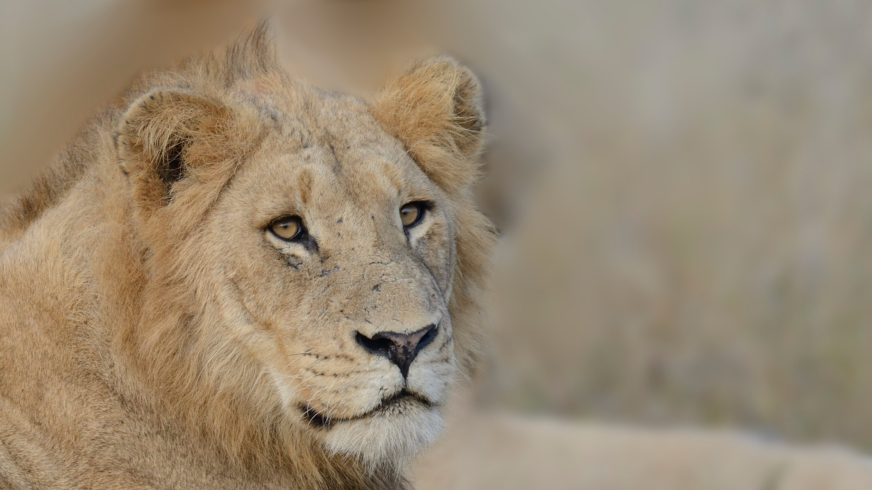 7 young male lion coalition